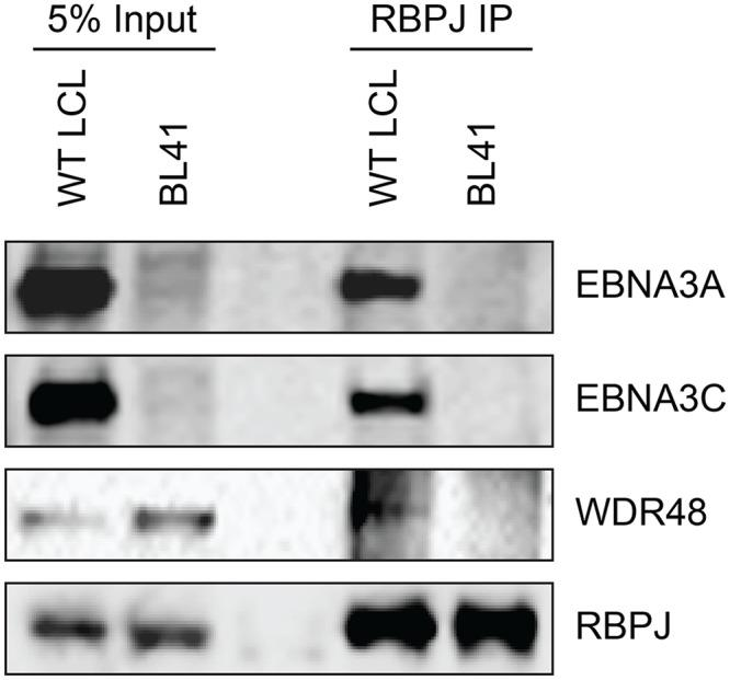 WDR48 coimmunoprecipitates with RBPJ in EBV infected cells. Co-immunoprecipitation assays comparing the association of RBPJ with WDR48 in LCLs with that observed in EBV negative BL41 cells. Cell lysates were immunoprecipitated with polyclonal RBPJ sera, separated by SDS PAGE, and probed for EBNA3A, EBNA3C, WDR48, and RBPJ (as indicated).