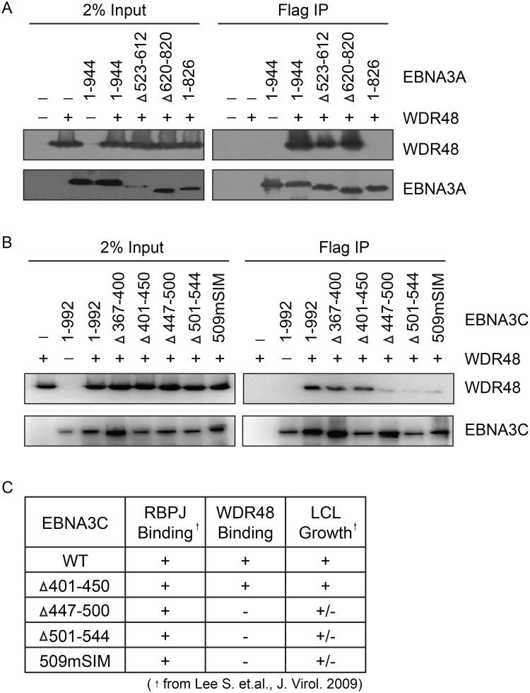 Identification of EBNA3A and EBNA3C domains that mediate WDR48 association. Immunoprecipitation assays to map WDR48 binding regions within EBNA3A (A) and EBNA3C (B). 293T cells were co-transfected with Xpress tagged WDR48 and flag tagged full length EBNA3A, EBNA3C, or the indicated EBNA3A or EBNA3C deletion mutants. Cell lysates were immunoprecipitated with Flag agarose, separated by SDS PAGE, and probed for WDR48 (anti-Xpress) and EBNA3 proteins (anti-Flag). (C) Comparison of WDR48 binding results (from B) with previously published RBPJ binding results and LCL growth phenotype for each EBNA3C mutant [ 21 ].