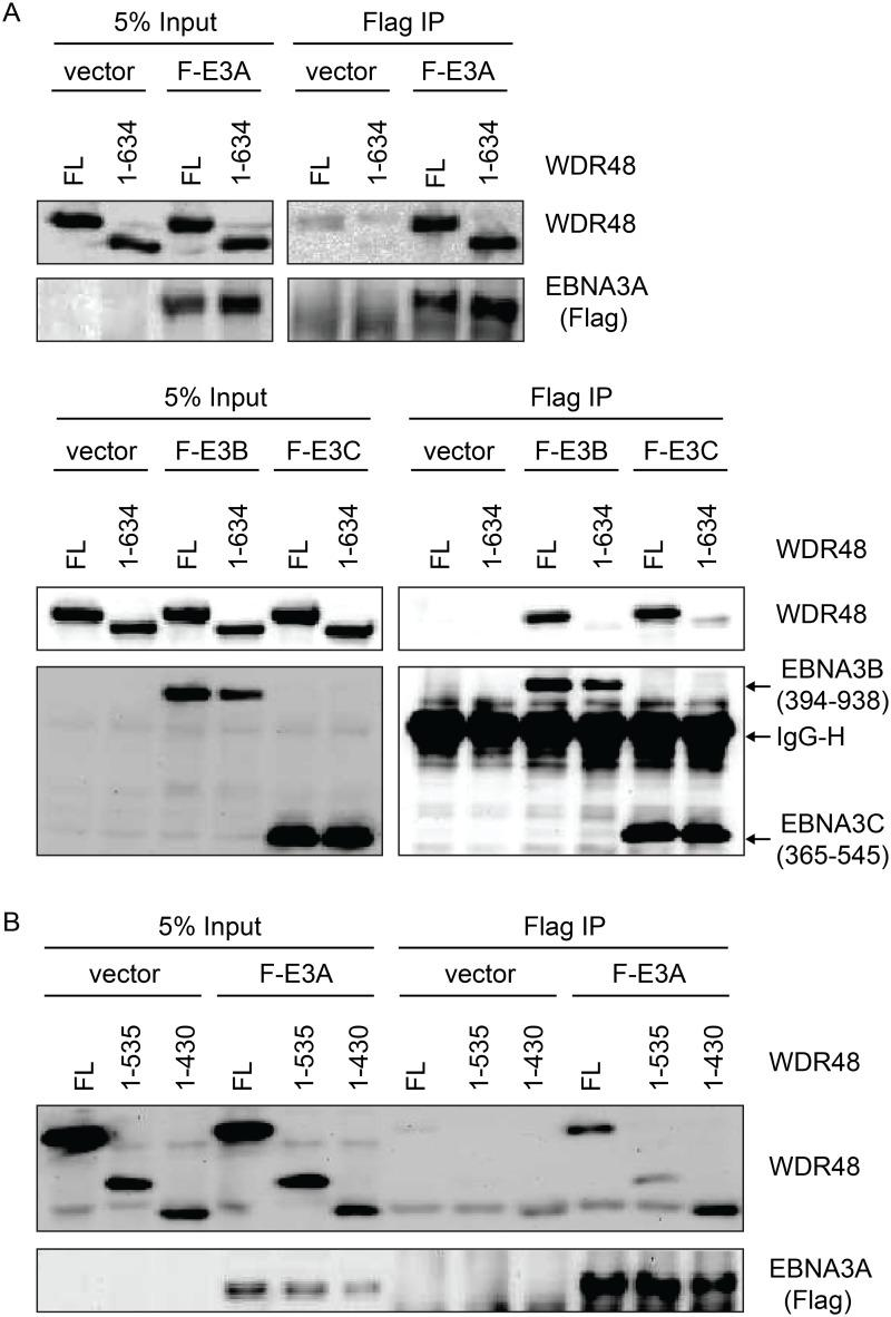WDR48 SLD2 mediates binding to EBNA3B and EBNA3C, but is not required for EBNA3A binding. Immunoprecipitation assays were performed to assess effect of deleting the WDR48 SUMO-like domains (SLDs) on EBNA3 binding. (A) 293T cells were co-transfected with vector control, Xpress tagged full length WDR48 (FL) or a deletion mutant lacking the SLD2 domain (WDR48 1–634) and flag tagged EBNA3A 1–944 (F-E3A), EBNA3B 394–938 (F-E3B) or EBNA3C 365–545 (F-E3C). Cell lysates were immunoprecipitated with Flag agarose, separated by SDS PAGE, and probed with WDR48 or Flag antibody. (B) Immunoprecipitation assay to determine effect of deleting SLD1/2 on WDR48 binding to EBNA3A. Assays were performed as describe above with co-transfection of EBNA3A WT and either full length WDR48 (FL), WDR48 1–535, or WDR48 1–430 (which lacks both SLD1 and SLD2).