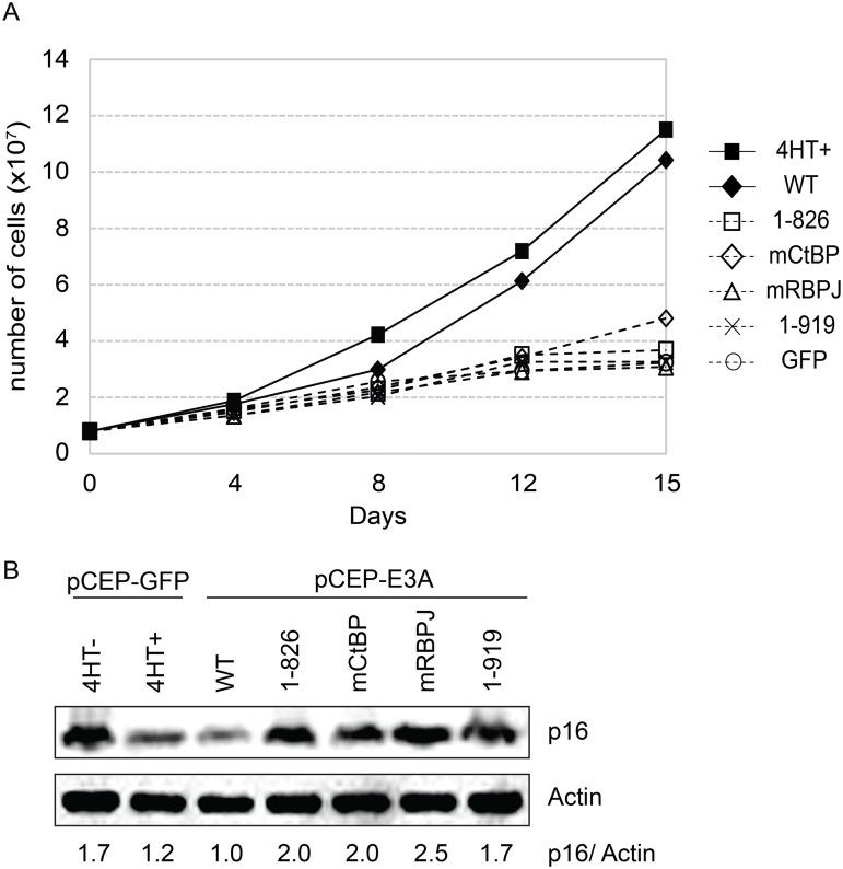 EBNA3A1-919, which associates with CtBP1 but not WDR48, is impaired for LCL growth maintenance. (A) Transcomplementation assay comparing growth of EBNA3A-HT cells transfected with EBNA3A WT (closed diamond), EBNA3A 1–826 (open square), EBNA3A mCtBP1 (open diamond), EBNA3A mRBPJ (open triangle), or EBNA3A 1–919 (X) in the absence of 4HT. EBNA3A-HT cells were also transfected with a control GFP expression plasmid, split, and maintained in either the presence (closed square) or absence (open circle) of 4HT. Cells were counted every 3 to 4 days, and diluted in fresh media to maintain a concentration of 200,000 cells/mL. Based on dilution factors, total cell number was calculated and is plotted on the Y-axis versus time. (B) Wild type EBNA3A, not mutant EBNA3A, suppresses p16 expression level in trans-complemented cells. After 15 days of EBNA3A WT or EBNA3A mutant (1–826, mCtBP1, mRBPJ, or 1–919) transfection, cells were harvested and protein expression was detected by immunoblotting with p16 antibody and actin as an internal control. As a control experiment, GFP expression plasmid was transfected into the cells and cultured with or without 4HT for 15 days. The ration of the p16 and actin bands was quantified and is indicated in the bottom panel.