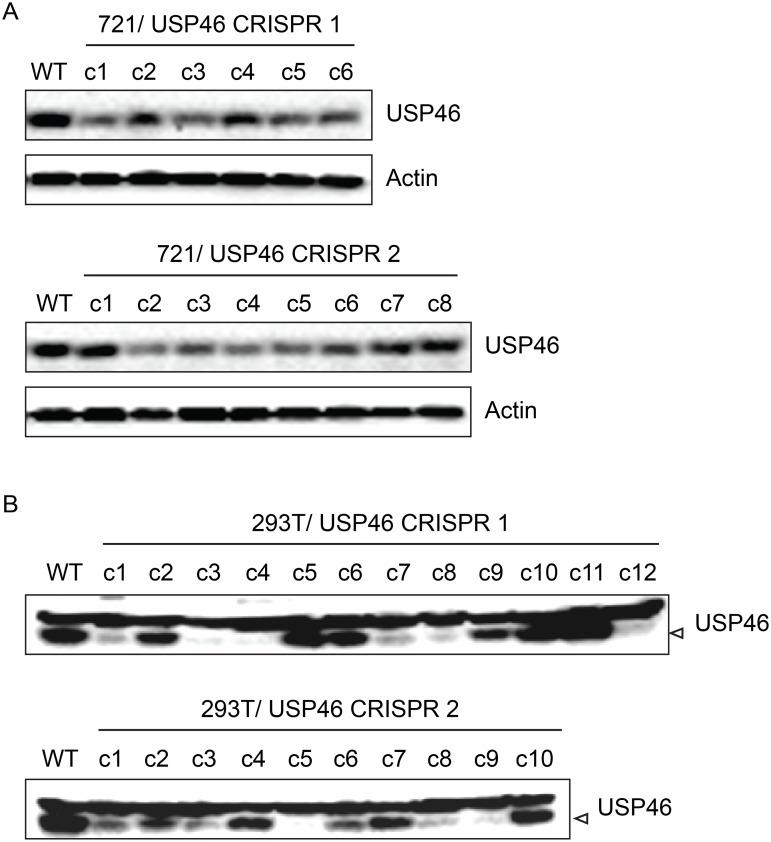 Inability to derive USP46 null LCLs using CRISPR/ Cas9 mediated gene editing. (A) Western blot for USP46 in 721 LCLs cells transfected with a plasmid expressing either of two guide RNAs targeting different USP46 exons (CRISPR 1 or CRISPR 2) and a hygromycin resistance gene. Prior to harvesting, cells were subjected to hygromycin selection for one month (resulting in 6 clones for CRISPR 1 and 8 clones CRISPR 2). Untransfected 721 cells are also shown (WT). As a loading control, lysates were probed for beta actin (bottom panel). (B) Western blots of 293T cells that were transfected same CRISPR plasmids as in panel A and also subjected to one month of hygromycin selection. Hygromycin resistance cells were harvested and blotted for USP46 (specific band is indicated by arrowhead). Untransfected 293T cells are also shown (WT).