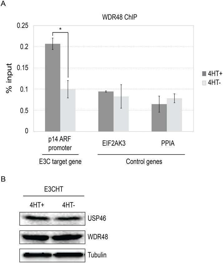 ChIP assay for WDR48 at the p14ARF promoter. Chromatin immunoprecipitation (ChIP) assays were performed using antibodies for WDR48 (A) from EBNA3C-HT LCLs that were grown in the presence of 4HT (dark gray) or after 14 days of growth in the absence of 4HT (light gray). Amount of genomic DNA was measured by real time PCR using primers specific to the EBNA3C binding site in the p14 ARF promoters or sites near the EIF2AK3 and PPIA genes which bind cell transcription factors but not EBNA3C. The bar graph represents the amount of DNA precipitated relative to the amount of DNA in the corresponding input sample. The experiment shown is representative of four independent experiments and error bars indicating standard error of the mean within this experiment. Asterisk denotes that the difference in ChIP signal seen at the p14 ARF promoter is statistically significant (p = 0.01). (B) Western blot for USP46, WDR48, and tubulin levels in whole cell lysates from EBNA3CHT LCLs grown in the presence of 4HT or after 14 days of growth in the absence of 4HT.