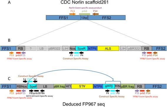 Cartoon of the insertion of the FP967 T-DNA into scaffold 261 of the flax genome. A) The insertion site of the FP967 TDNA into Norlin gDNA at scaffold261. The event specific assay detects uninterrupted gDNA from Norlin using primers P13 and P14 and Taqman prb3. See Tables 1 and 2 for more details. B) Known (in colour) and unknown (opaque grey) portions of the FP967 TDNA at the beginning of the project. The sequences and orientations of the LB and flanking region, the pBR322 fragments and the LIH had not been confirmed. The construct specific assay, which detects the DHFR fragment form E. coli and the Nos terminator, is indicated (P3, P4 and prb2). The event specific assay, developed in this project, is also shown. It uses a primer in Norlin gDNA (P13 or P14), a primer in the RB (P15) and a probe in the RB (prb5) to detect the TDNA. C) Deduced T-DNA structure after NGS and PCR fragment cloning. The inverted portion of the TDNA inserted between FFS1 and the LB is indicated, as is the new event-specific assay, which spans the junction between the SAT2 gene of the SpecR cassette and the LB (P85, P86 and prb28). The orientation and sequence of the LIH, AtALS, NPTII, SpecR cassette and internal Nos gene were deduced. Inverted sections were found to be oriented in the reverse direction.