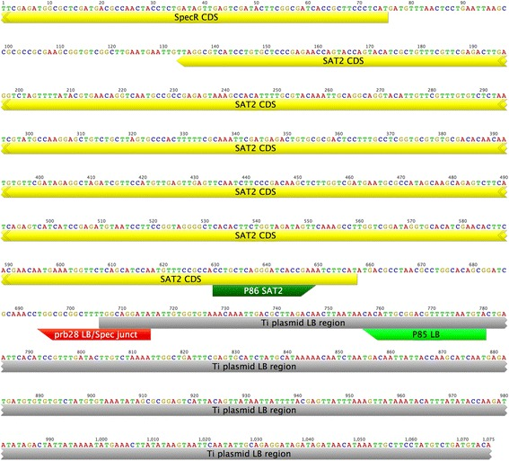 Sequence adjacent to the LB region in FP967 and SAT2-LB event specific assay. Our analysis indicated a region of the T-DNA between the NOS promoter of NPTII and SAT2 was duplicated between the FFS1 region of the flax genome and the LB of the T-DNA. A qPCR assay was developed to detect this event specific fragment (P85, P86 and prb28). The sequence of these primers and probe is indicated with green and red blocks, respectively. The location of the Spectinomycin resistance gene AADA and SAT2 are shown in yellow and the LB region in grey. The sequence of this fragment was confirmed by PCR sequencing of P30-P85 and P30-P20 fragments.