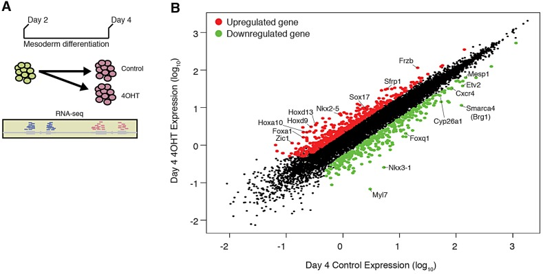 Global expression analysis of Brg1 -deleted mesodermal cultures reveals dysregulation of essential developmental genes. (A) Cartoon of the RNA-seq experimental design. (B) Day 4 expression in control samples plotted versus day 4 expression in 4-OHT-treated samples. Genes significantly changed ( > twofold change, FDR=1%) are colored in red and green for upregulated and downregulated, respectively. Example genes are highlighted.