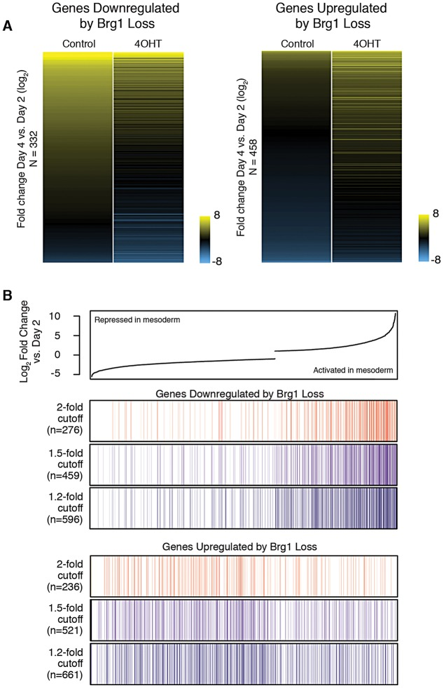 Brg1 is required for gene activation and maintenance of gene silencing during mesoderm differentiation. (A) Heat map of log 2 -fold change in expression during mesoderm differentiation for genes significantly downregulated or upregulated by loss of Brg1 . (B) (Top) Genes are rank-ordered based on log 2 -fold change in expression between day 4 control and day 2 (normal mesoderm differentiation). Only genes significantly changed during mesoderm differentiation are shown. (Bottom) Color bars depict distribution of genes downregulated by loss of Brg1 by numerous fold change cut-offs. Colors vary only for ease of visualization and do not correlate to numerical values. Each vertical line represents a single dysregulated gene. Genes downregulated by loss of Brg1 cluster to the right, suggesting a role for Brg1 in gene activation during mesoderm differentiation. Conversely, genes upregulated by loss of Brg1 are more often found repressed during mesoderm differentiation. N indicates the number of Brg1 -dependent genes shown.