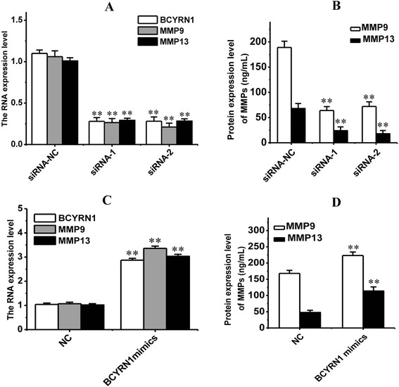 The RNA (A, C) and protein (B, D) expression levels of MMP9 and MMP13 were both downregulated by BCYRN1 inhibition, and upregulated by BCYRN1 mimics.  siRNA-NC: siRNA negative control; siRNA-1: siRNA-BCYRN1-1; siRNA-2: siRNA-BCYRN1-2; NC: negative control for BCYRN1 mimics, only treated with Lipofectamine 2000.  * p