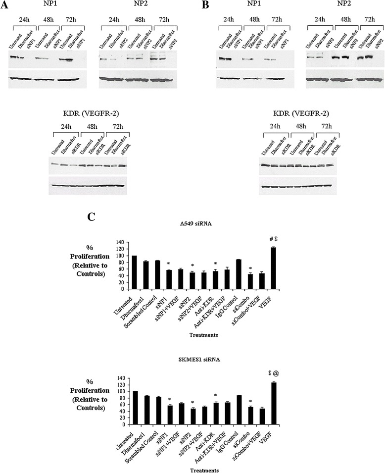 Gene knockdown of VEGFR- 2,  NP1 and NP2 attenuates VEGF- mediated cell survival.  VEGFR siRNA was carried out in A549  (A)  and SKMES1  (B)  lung cancer cells over 24, 48 and 72h and protein expression was examined by Western blot analysis. NSCLC cells were transfected with siNP1 (100 nM), siNP2 (100 nM), anti-KDR (10μg/ml) antibody alone, and in combination, for 48h. While an IgG isotype antibody was used as a control for antibody specificity for KDR, proliferation in response to each siRNA was measured relative to a scrambled control siRNA for siNP1 and siNP2. Exogenous recombinant VEGF (100ng/ml) was added for a further 24h following receptor knockdown/blockade, after which time, cell proliferation was measured  (C)  ( A549 cells , *p