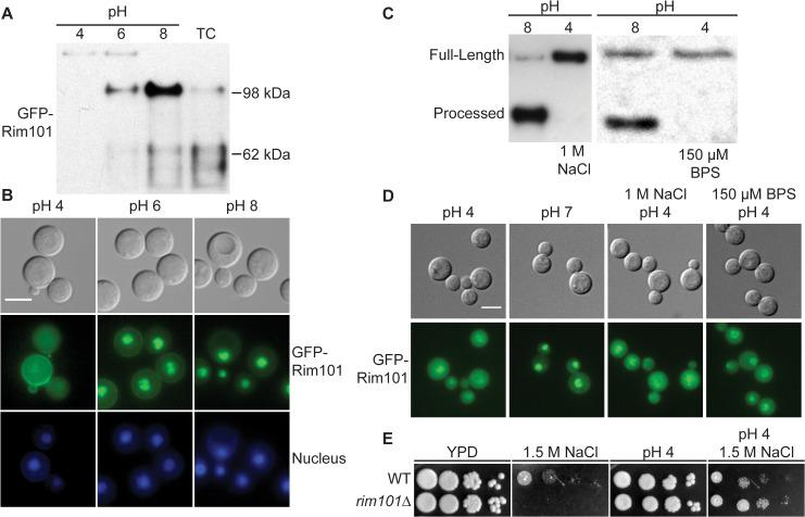Rim101 proteolysis and nuclear localization are dependent on pH. (A) GFP-Rim101 is proteolytically processed from 140 kDa to ~100 kDa in response to increasing pH. GFP-Rim101 was immunoprecipitated from wild-type cells after incubating for 5 hr at the indicated pH 8 (SC medium buffered with McIlvaine's buffer). Protein processing was determined by western blotting using an α-GFP antibody. (B) GFP-Rim101 nuclear localization increases in response to increasing pH. Cells were cultured in the same way as in (A). GFP signal was assessed by epifluorescence microscopy. Nuclei were stained using Hoechst 33342 live nuclei stain. Scale bar = 5 μm. (C) GFP-Rim101 proteolysis is not induced by 1 M NaCl or 150 μM BPS. Cells were cultured in each indicated condition for 3 hr. GFP-Rim101 was analyzed by western blot. (D) GFP-Rim101 localization in response to pH 7 SC (McIlvaine's) or pH 4 SC (McIlvaine's) with 1 M NaCl or 150 μM BPS. Cell assessed epifluorescence microscopy after 30 min incubation in each condition. Scale bar = 5 μm (E) rim101Δ is not NaCl sensitive at pH 4. Strains spotted onto YPD, YPD 150mM HEPES pH 4 1.5 M NaCl, and YPD 1.5 M NaCl.