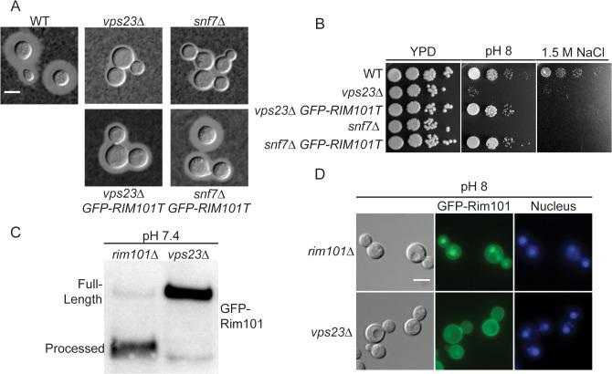 ESCRT complex proteins, Vps23 and Snf7, are required for Rim101 activation. (A) snf7Δ and vps23Δ capsule defects are partially rescued by GFP-RIM101T expression. Strains cultured for 24 hr in tissue culture media. India ink used to visualize capsule. (B) GFP-RIM101T expression rescues the vps23Δ and snf7Δ growth defects on pH 8 but not 1.5 M NaCl. (C) GFP-Rim101 was immunoprecipitated from the indicated strains after 5 hr incubation in YPD with 150mM HEPES at pH 7.4. (D) GFP-Rim101 (full-length) nuclear localization is disrupted in the vps23Δ mutant. Localization was assessed after culturing for 5 hr in SC with McIlvaine's buffer at pH 8. Nuclei were stained with Hoechst 33342 live nuclear stain. Scale bar = 5 μm.