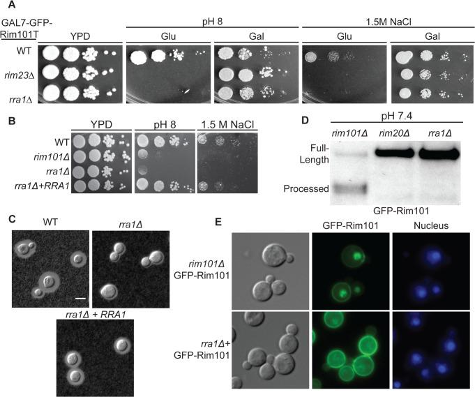 The rra1Δ mutant is phenotypically identical to other Rim pathway mutants. (A) rra1Δ insertional mutant has pH 8 and 1.5 M NaCl growth defects that are rescued by GFP-RIM101T expression. 10-fold serial dilutions were spotted onto YPD, YPD with 150 mM HEPES pH 8, and YPD with 1.5 M NaCl. (B) Independent rra1Δ mutant has a growth defect pH 8 and 1.5 M NaCl. (C) The rra1Δ strain has a capsule defect. Cells were cultured for 48 hr in CO 2 -independent media at 37 ° C to induce capsule. Capsule was visualized by India ink staining. Scale bar = 5 μm. (D) The rra1Δ mutation disrupts GFP-Rim101 proteolysis. GFP-Rim101 was immunoprecipitated from the indicated mutant strains after 5 hr incubation in YPD with 150 mM HEPES at pH 7.4. (E) GFP-Rim101 nuclear localization is disrupted in the rra1Δ mutant. GFP-Rim101 was assessed after 5 hr incubation in pH 8 SC McIlvaine's buffer.