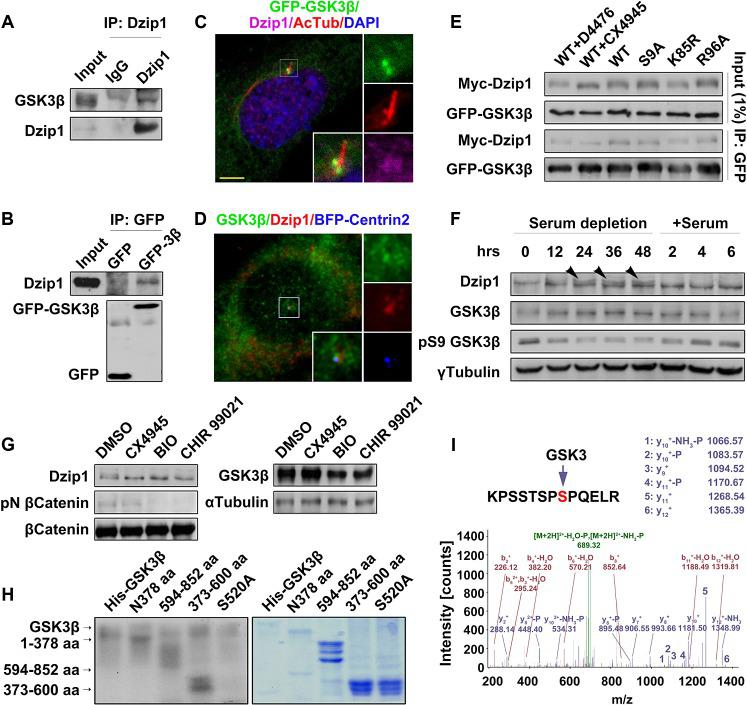 GSK3β phosphorylates Dzip1. (A and B) Dzip1 interacts with GSK3β. Endogenous GSK3β was immunoprecipitated by Dzip1 but not IgG (A), and endogenous Dzip1 was immunoprecipitated with GFP-GSK3β in HEK 293T cells (B). (C and D) Dzip1 is co-localized with GSK3β at the basal body. G0-phase NIH 3T3 cells expressing GFP-GSK3β were immunostained for Dzip1 and AcTub (C), or cells expressing BFP-Centrin2 were immunostained with GSK3β and Dzip1 (D). Scale bar: 5 μm. (E) GSK3β binds Dzip1 in a kinase-substrate interaction manner. Wild-type (WT) GFP-GSK3β and the mutants S9A, K85R, and R96A were each co-expressed with Myc-Dzip1 in G0-phase HEK 293T cells, and treated with the CK1 inhibitor D4476 or the CK2 inhibitor CX4945. Note that treatment with CX4945 but not D4476 led to a significant decrease in the extent of the up-shifted Dzip1 bands, although the binding of Dzip1 to the GFP-GSK3β variants showed no difference. The extent of the up-shifting of the Dzip1 bands was decreased in K85R-expressing cells. (F) Phosphorylation of Dzip1 is coordinated with GSK3β activation. The kinase activity of GSK3β was negatively correlated with serum stimulation in NIH 3T3 cells. Note that the up-shifted bands (arrowheads) of Dzip1 became evident after serum depletion for 24–48 h, and disappeared after serum restimulation. γ-Tubulin was set as a loading control. (G) GSK3β phosphorylates Dzip1 in vivo. In resting mouse embryo fibroblast (MEFs) treated versus not treated with GSK3 and CK2 inhibitors, the Dzip1 bands were up-shifted less in GSK3- and CK2-inhibited cells. The protein levels of total <t>β-Catenin</t> and GSK3β were steady, but the phosphorylated (S33/37/T41) β-Catenin specifically disappeared from GSK3-inhibited cells. α-Tubulin was set as a loading control. (H) GSK3β phosphorylates Dzip1 in vitro. Auto-phosphorylation of GSK3β (55 kD), and the phosphorylated bands of the middle (28 kD), C-terminus (36 kD), and N- terminus (50 kD) of Dzip1 are shown (left panel). Coomassie blue sta