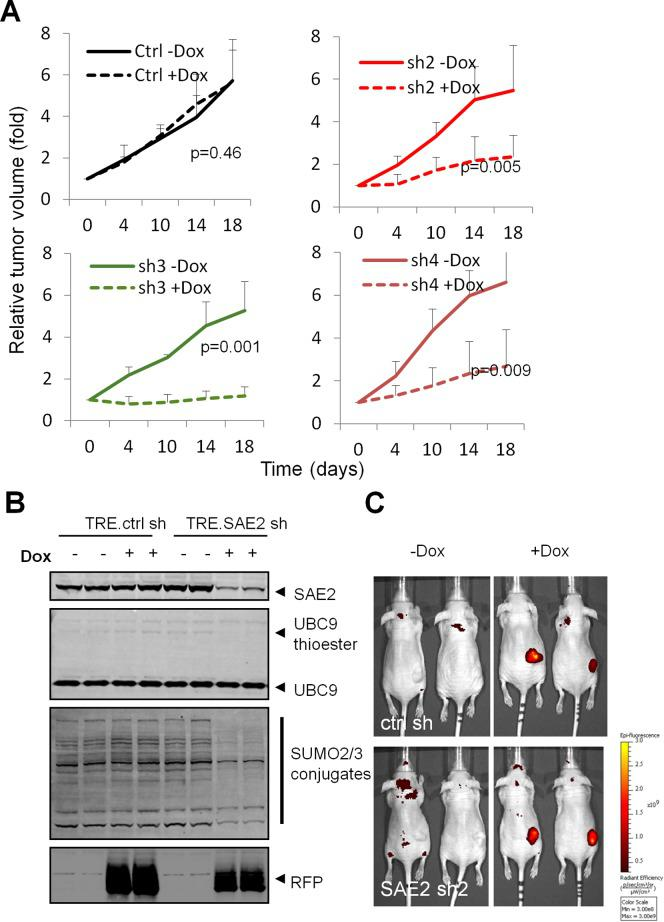 Conditional SAE knockdown delays tumor progression. (A) HCT116 cells infected with Dox inducible SAE2 shRNAs were injected subcutaneously in immunocompromised mice. Dox treatment starts at D14 after injection (set as D0). Error bars denote s.d. (n = 4). (B) SAE2 shRNA reduced SUMO pathway activity in tumors. Protein lysates from tumors were immunoblotted with indicated antibodies. (C) Whole-body fluorescent imaging of mice untreated or treated with Dox. Color bar denotes signal intensity.