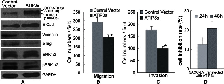 MTUS1/ATIP3a overexpression is related to the migration and invasion of SACC. (A) Differential expression of ERK-Slug pathway in SACC-LM cells treated with either control vector or ATIP3a plasmid. SACC-LM cells displayed decreased Slug, <t>Vimentin</t> and pERK1/2 protein levels and increased E-cadherin, ATIP3a protein levels upon ATIP3a overexpression. ATIP3a protein was detected by anti-MTUS1 antibody. ( B and C ) The migration and invasion ability of SACC cells was assessed by a transwell migration and invasion assay. ATIP3a overexpression significantly inhibited the migration (B) and invasion (C) of SACC-LM cells. (D) Cell proliferation was measured using a MTT assay. The cell proliferation rate of SACC-LM was significantly inhibited after overexpressed with MTUS1/ATIP3a. *: P