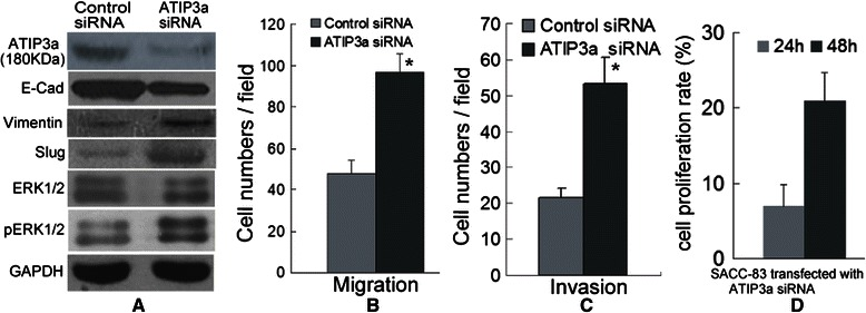 MTUS1/ATIP3a knockdown promotes the migration and invasion of SACC. (A) Obviously reductions in ATIP3a protein levels were observed in the ATIP3a siRNA-transfected SACC-83 cells compared to the negative control-siRNA transfected cells. SACC-83 cells displayed increased Slug, Vimentin and pERK1/2 protein levels and decreased E-cadherin protein levels upon ATIP3a knockdown. (B, C) ATIP3a knockdown promotes the migration and invasion of SACC-83 cells. (D) The cell proliferation rate of the SACC-83 cells was significantly promoted after transfection with the ATIP3a siRNA. *: P