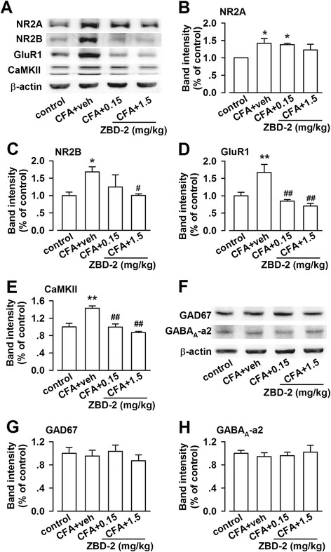 Effects of ZBD-2 on protein expression in the BLA. (A) Representative results of Western blot analysis in the BLA on the Day 21 after hindpaw CFA-injection. (B) ZBD-2 (0.15 and 1.5 mg/kg) for one week slightly decreased the levels of NR2A-containing NMDARs. (C) ZBD-2 (1.5 mg/kg) reversed the upregulation of NR2B-containing NMDARs. (D-E) ZBD-2 (0.15 and 1.5 mg/kg) reversed the upregulation of GluR1 and CaMKII-α. (F) Representative results of Western blot analysis for GABA A -α2 and GAD67. (G and H) Levels of GABA A -α2 and GAD67 were not altered in groups. n = 6 in each group, * p