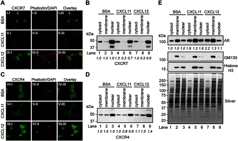 CXCR7 expression and localization are modulated by CXCL11 and CXCL12. (A) Immunofluorescence staining of CXCR7 in AD -LNCaP cells treated with vehicle (0.1% BSA), CXCL11 (100 nM), or CXCL12 (100 nM) for 30 min. Nuclei and F-actin are labeled with DAPI and Texas-red phalloidin, respectively. (B) Western blot of cytosolic, membrane, and nuclear protein fractions isolated from LNCaP cells, cultured as described in (A) with pAbCXCR7 antibody. (C) Immunofluorescence staining of CXCR4 in AD -LNCaP cells as described in (A) . (D-E) Western blot of cytosolic, membrane, and nuclear protein fractions isolated from LNCaP cells, cultured as described in (A), with antibodies to (D) CXCR4, and (E) AR, GM130, and histone H3. Silver staining demonstrates equivalent loading across samples. The densitometry values were normalized to BSA-treated samples for each subcellular compartment and labeled below the blots.