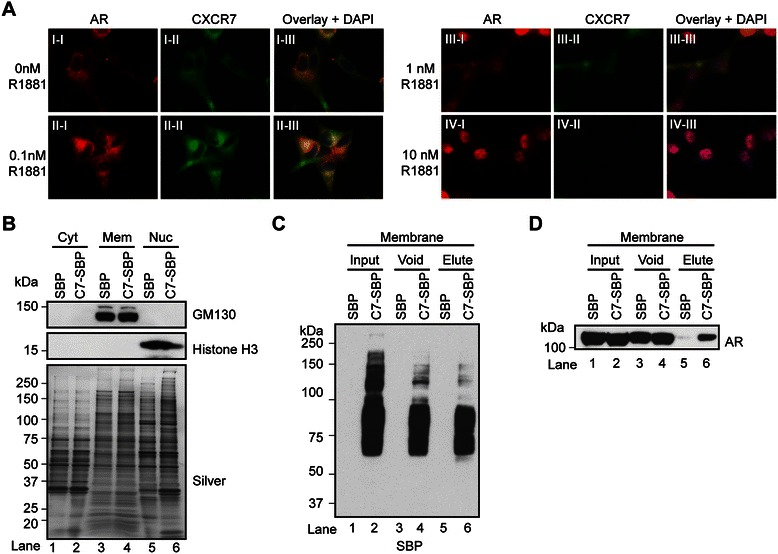 CXCR7 colocalizes and physically interacts with AR in LNCaP prostate-tumor cells. (A) Immunofluorescence staining of CXCR7 and AR in semi-permeabilized AD -LNCaP cells treated with vehicle (0.1% BSA), 0.1, 1, or 10 nM R1881 for 96 hrs. The nuclei are labeled with DAPI. (B) Western blot analysis of crude cytosolic, membrane, and nuclear proteins isolated from LNCaP cells stably expressing streptavidin binding peptide tag (SBP) or CXCR7 with a SBP-tag on the C-terminus (C7-SBP) using antibodies to GM130 and Histone H3 (top panel). Silver-stained gel demonstrated equal protein loading across samples (bottom panel). (C) Western blot analysis of streptavidin affinity purified samples from detergent-solubilized microsomal protein fraction of SBP or C7-SBP cells using the SBP, and (D) AR antibody. Equal proportions (10 μl) of input, flow-through (void), and 5% (10 ul) of the biotin elution were loaded.