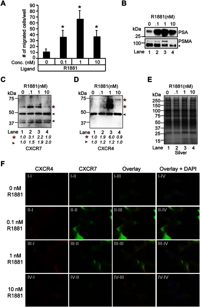 CXCR7 modulates androgen-mediated cell motility through CXCR4. (A) Transwell assay assessing the effects of androgens on LNCaP migration. ANOVA was used to determine significant differences between vehicle (ethanol) and androgen (R1881) treated cells (* p ≤ 0.05, n = 3). (B-D) Western blot analysis of LNCaP membrane glycoproteins enriched from cells grown in androgen-depleted medium for 72 hrs and treated with 0, 0.1, 1, or 10 nM R1881 for 24 hrs with antibodies to (B) PSA, PSMA, (C) CXCR7, and (D) CXCR4. Red asterisks = putative glycosylated CXCR4 and CXCR7 isoforms. The densitometry values were normalized to vehicle-treated lysates and labeled below the blots. (E) Silver staining demonstrates equivalent loading across the samples. (F) Immunofluorescence staining of CXCR4 and CXCR7 in semi-permeabilized AD -LNCaP cells treated with 0, 0.1, 1, or 10 nM R1881. The nuclei are labeled with DAPI.