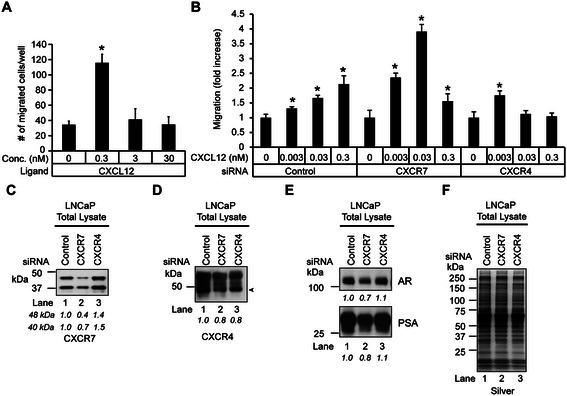 CXCR7 knockdown leads to a reduction in CXCR4 protein levels in LNCaP cells. (A) Transwell assay assessing the effects of CXCL12 on LNCaP migration. ANOVA was used to determine significant differences between vehicle (0.1% BSA) and CXCL12-treated cells (* p ≤ 0.05, n = 3). (B) Transwell assay assessing the effects of CXCR4 and CXCR7 knockdown on CXCL12-induced LNCaP cell migration. LNCaP cells transfected with 100 nM scrambled control, CXCR4, or CXCR7 siRNAs were seeded to the top chamber of the insert. The bottom chamber contained medium with 1% CS serum with 1 nM R1881 and CXCL12 at 0, 0.003, 0.03, or 0.3 nM concentrations. Data was normalized to control siRNA transfected, vehicle-treated cells. ANOVA was used to determine significant differences (*p ≤ 0.05, n = 3) between control and experimental cells. (C-E) Western blots to test the effects of CXCR7 and CXCR4 knockdown on AR signaling in LNCaP cells. Cells were transfected with control, CXCR7 or CXCR4 siRNA for 72 hrs and probed with antibodies against (C) CXCR7, (D) CXCR4, (E) AR, and PSA. The densitometry values were normalized to control siRNA transfected cells and labeled below the blots. (F) Silver staining demonstrates equivalent loading across the samples.