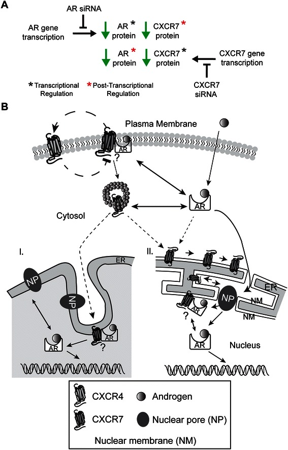 Speculative models for CXCR7 signaling in prostate cancer cells. (A) CXCR7 and AR protein levels are modulated by AR and CXCR7 respectively, through post-transcriptional mechanisms ( e.g., protein stability). (B) Reciprocal feedback loop regulating the expression of CXCR4 and CXCR7 in LNCaP prostate cancer cells, including protein trafficking pathways that could account for the transport of CXCR7 into the nuclear compartment. Question mark indicates that AR may directly or indirectly interact with CXCR7. (I) CXCR7 gains access to the nucleus through the nucleoplasmic reticulum ( e.g. invaginations of the nuclear envelope) [ 73 , 77 ]. (II) CXCR7 gains access to the nucleus through the nuclear pore complex ( e.g., transportin-dependent), as shown for other GPCRs and more recently for CXCR4 [ 69 , 70 ].