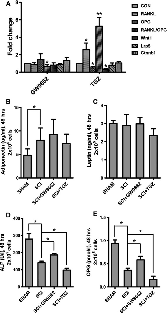 In vitro effects of GW9662 and troglitazone (TGZ) on RANKL mRNA, OPG mRNA, Wnt signalling and protein secretion in mesenchymal stem cells (MSC) from spinal cord injury (SCI) and SHAM rats. (A) TGZ up-regulated RANKL/OPG ratio, whereas GW9662 down-regulated RANKL/OPG ratio in MSCs from SCI rats as compared with that of SHAM rats. And, TGZ down-regulated Wnt1 in MSCs from SCI rats as compared with that of SHAM rats. (B–E) The adiponectin levels in the medium were significantly higher in MSCs from SCI rats than SHAM rats, whereas the ALP and OPG levels were significantly lower in MSCs from SCI rats than SHAM rats. There was no significant difference of leptin levels in the medium between MSCs from SCI rats and SHAM rats. The ALP abd OPG levels in the medium were decreased in MSCs treated with TGZ, and increased in MSCs treated with GW9662. The values of medium levels were pooled from 10 samples per group and expressed as averages ± SE. * P