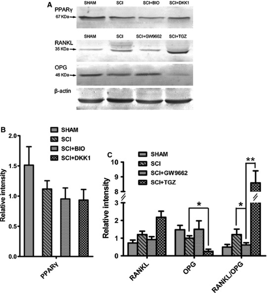 In vitro effects of GW9662 and troglitazone (TGZ) on RANKL and OPG protein expression and in vitro effects of BIO and Dickkopf 1 (DKK1) on peroxisome proliferator-activated receptor-γ (PPARγ) protein expression in mesenchymal stem cells (MSC) from spinal cord injury (SCI) and SHAM rats. (A) Representative PPARγ protein expression in MSCs from SCI and SHAM rats treated with BIO and DKK1; representative OPG and RANKL protein expression in MSCs from SCI and SHAM rats treated with GW9662 and TGZ. (B) There were no significant effects of BIO and DKK1 on PPARγ protein expression in MSCs from SCI and SHAM rats. (C) TGZ up-regulated RANKL/OPG ratio, whereas GW9662 down-regulated RANKL/OPG ratio in MSCs from SCI rats as compared with SHAM rats.