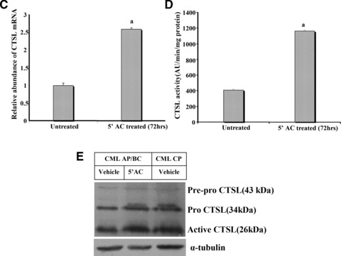 Quantitative analysis of CTSL in 5′-aza-cytidine treated K562 cells. (A) Effect of demethylating agent 5′-aza-cytidine on mRNA levels of CTSL and cystatin C. Total cellular RNA isolated from K562 cells grown in the presence of 5′-aza-cytidine for different time periods was reverse transcribed and subjected to PCR using primers specific for CTSL, cystatin C or 18S RNA. The amplified products were resolved on 1.2% agarose gel and visualized under UV after staining with ethidium bromide. (B) K562 cells were grown in the presence or absence of 5′-aza-cytidine for different time periods. Cell lysates containing equal amount of protein were immuno-blotted for CTSL protein using monoclonal antibodies against it. Immuno-blotting for α-tubulin served as loading control. Lane 1: Vehicle treated K562 cells at 72 hrs; lane 2: vehicle treated K562 cells at 0 hrs; lane 3: 5′-aza-cytidine treated K562 cells at 72 hrs; lane 4: 5′-aza-cytidine treated K562 cells at 48 hrs; lane 5: 5′-aza-cytidine treated K562 cells at 24 hrs; lane 6: 5′-aza-cytidine treated K562 cells at 12 hrs; lane 7: untreated K562 cells. (C) Total RNA isolated from untreated K562 cells or after treatment with 5 μM 5′-aza-cytidine for 72 hrs was reverse transcribed and subjected to real-time PCR using amplimers specific for CTSL mRNA. a – significantly higher compared to untreated K562 cells ( P ≤ 0.05, Student's test). (D) Cell lysates were prepared from untreated or 5 μM 5′-aza-cytidine treated K562 cells. CTSL-specific assay was performed with equal amount of total protein. a – significantly higher compared to untreated K562 cells ( P ≤ 0.05, Student's test). (E) 5′-aza-cytidine treatment increases CTSL expression in CML AP/BC. A total of 3 × 10 7 PBMCs isolated from CML AP/BC patients were plated in each well of a six-well dish and treated with 5 μM 5′-aza-cytidine or vehicle control. After 72 hrs the PBMCs were lysed and CTSL in the cell lysate was assessed by Western blotting and compared with its expressio