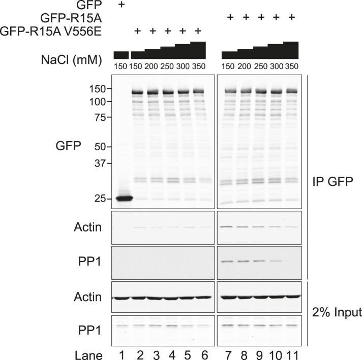 Immunoblot for <t>GFP,</t> actin, and PP1 of GFP-Trap pull-downs and 2% of input. HEK293T cells were transiently transfected with plasmids encoding the indicated constructs. After 36 hr, cells were lysed in GFP-Trap lysis buffer (150 mM <t>NaCl,</t> 10 mM Tris/Cl pH 7.5, 0.5 mM EDTA, 1 mM PMSF, and Protease Inhibitor Cocktail [Roche]) and post-nuclear supernatants were incubated with GFP-Trap beads at 4°C for 2 hr then washed four times in the same buffer. Next, samples were washed thrice in GFP-Trap lysis buffer supplemented with additional NaCl as indicated. DOI: http://dx.doi.org/10.7554/eLife.04872.008