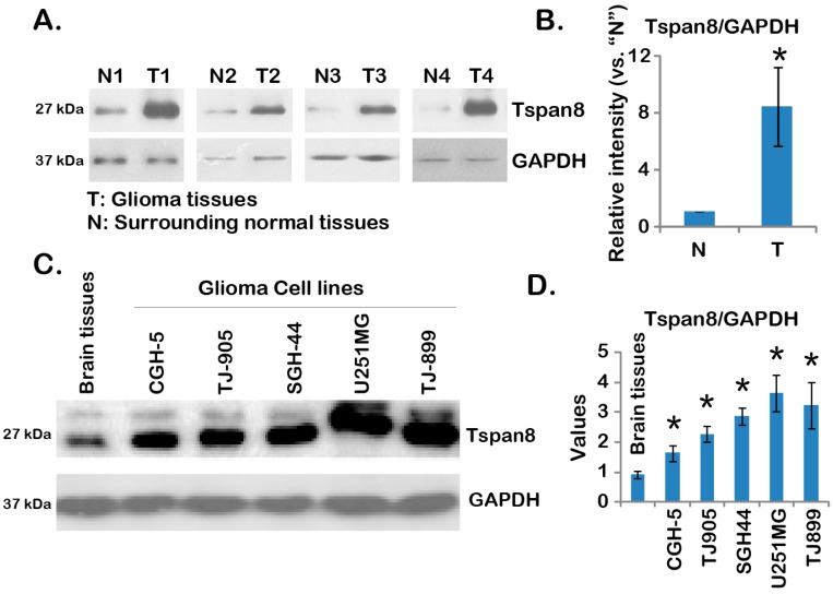 """Over-expression of tetraspanin 8 (Tspan8) in human malignant glioma tissues and cell lines. Expression of Tspan8 and glyceraldehyde-3-phosphate dehydrogenase (GAPDH) (the loading control) in four different human malignant glioma tissues (""""T"""") or corresponding surrounded normal brain tissues (""""N"""") was tested by Western blots ( A ); relative Tspan8 expression ( vs. GAPDH) was quantified ( B ); Expression of Tspan8 and GAPDH in normal brain tissues (from stroke patient) or in different human glioma cell lines (CGH-5, TJ-899, SGH-44, TJ-905 and U251MG) was shown ( C ); relative Tspan8 expression ( vs. GAPDH) was quantified ( n = 3, D ). Data were presented as mean ± SD ( B ). * p"""