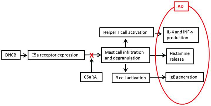 Inhibitory mechanism of C5aRA on AD. Following DNCB application onto mouse dorsal skin for 2 weeks, C5aR expression in skin tissue was significantly increased and the infiltration of mast cells was significantly enhanced as well. The activated mast cells released polarizing cytokines to increase IL-4 production from Th2 and IFN-γ production from mixed Th1/Th2. In addition, the increased C5aR expression on mast cells enhanced IgE in B cells. At the same time, mast cells released histamine to generate pruritus symptoms. Intracutaneous injection of C5aRA directly prevented the binding of C5a to C5aR on mast cells, then decreased the skin-fold thickness, number of infiltrating leukocytes and mast cells as well as levels of IL-4, IFN-γ, histamine and IgE, and thereby inhibited the symptoms of AD. AD, atopic dermatitis; DNCB, 2,4-dinitrochlorobenzene; Th, T helper; IL, interleukin; IFN, interferon; IgE, immunoglobulin E; C5aRA, C5a receptor antagonist.
