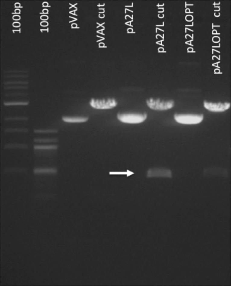 Enzymatic digestion of the pA27L plasmid. The A27L and A2L OPT gene was enzymatically digested with HindIII and NotI. Lane 1, 1kb DNA ladder; Lane 2, 100bp DNA ladder; Lane 3, pVax1 uncut; Lane 4 pVax1 cut; Lane 5, pA27L uncut; Lane 6, pA27L cut; Lane 7, pA27LOPT uncut; Lane 8, pA27LOPT cut. The expected band of 434bp corresponding to the A27L gene is highlighted with an arrow.