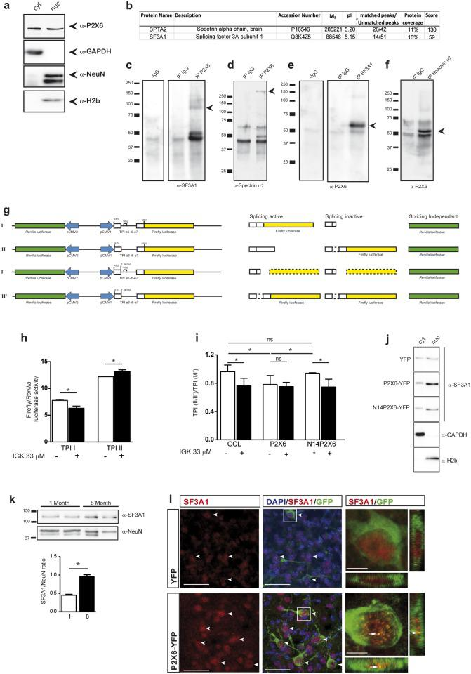 P2X6 subunit interacts with SF3A1 and Spectrin α2 in nuclear extracts from hippocampus of 8 month-old mice and alters splicing efficiency  in vitro . ( a ) Western blot of subcellular fractions from 8 month-old mice hippocampus. P2X6 subunit was located in both the cytosolic (cyt) and the nuclear fraction (nuc), as identified by localization with either glyceraldehyde-3-phosphate dehydrogenase (GAPDH) or NeuN (neuronal nuclei marker)/histone 2b (H2b), respectively. ( b ) Nuclear extracts immunoprecipitated with anti-P2X6 antibody were resolved in a 2D electrophoresis gel and selected spots were isolated, processed and identified by MALDI/TOF (n = 3 mice). ( c-f ) Nuclear extracts immunoprecipitated with either IgG or anti-P2X6 antibodies were analysed by immunoblotting with antibodies against SF3A1 ( c ) and spectrin α-2( d ). Nuclear extracts were also immunoprecipitated with spectrin α-2 ( e ) or SF3A1 ( f ) antibodies and immunoblotted with anti-P2X6 antibody. ( g ) Scheme shows four DNA constructions prepared for splicing activity quantitation and their respective protein translations. ( h ) Splicing inhibitor isoginkgetin (IGK) was used to validate the molecular tools employed to quantify the splicing efficiency. As expected TPI I firefly luciferase-dependent luminescence decreases and TPI II firefly luciferase-dependent luminescence increases when splicing is impaired (mean±s.e.m., n = 5 independent experiments, * P