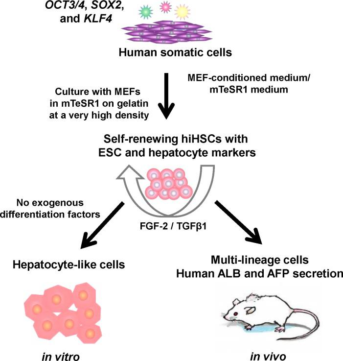 Generation, self-renewal, and differentiation of hiHSCs. Generation, self-renewal, and differentiation of hiHSCs were schematically illustrated. hiHSCs were generated and expanded as a new type of hiPSC from human somatic cells by gene transfer of defined factors and with some modifications of their culture conditions. The autonomous hepatic specification of hiHSCs was due to their culture conditions (coculture with MEF in <t>mTeSR1</t> medium at a very high density) in self-renewal rather than in differentiation. Self-renewing hiHSCs expressed markers of both hESCs and hepatocytes and then autonomously differentiated to hepatocyte-like cells in a defined minimum medium without FGF-2 and TGF-β1in vitro. Otherwise, in vivo differentiated hiHSCs gave rise not only to hepatocyte-like cells but also to other multi-lineage cells and then secreted human ALB in mice.