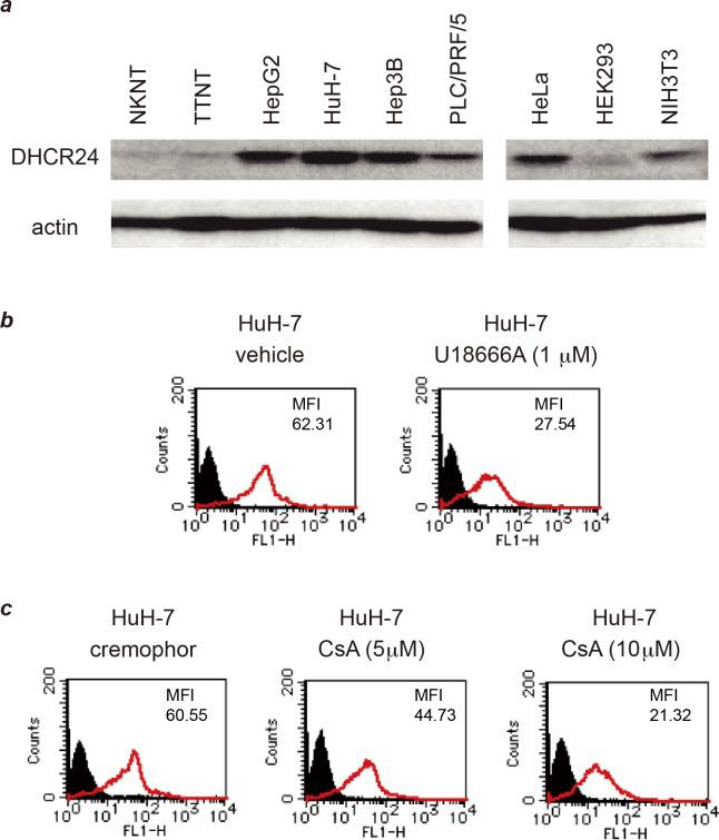Overexpression of DHCR24 on the cell surface of HCC cell lines was decreased by treatment with U18666A and cyclosporin A. ( a ) Cell lysates of each cell line (containing 50 μg of protein) were separated by 10% SDS-PAGE and analyzed by western blotting with 2-152a MAb and an anti-actin MAb. Normal hepatic cell lines: NKNT, and TTNT. HB-derived cell line: HepG2. HCC-derived cell lines: HuH-7, Hep3B, and PLC/PRF/5. ( b ) HuH-7 cells were treated with U18666A (final concentration, 1 μM) for 48 h, and then the surface expression of DHCR24 was analyzed by flow cytometry. ( c ) HuH-7 cells were treated with cyclosporin A (final concentration, 5 or 10 μM) or solvent (cremophor) for 48 h, and then the surface expression of DHCR24 was analyzed by flow cytometry.
