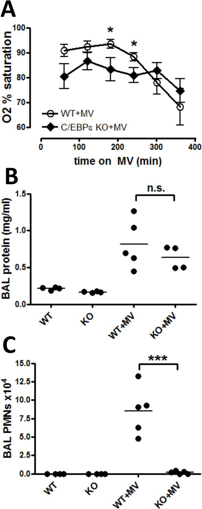 C/EBPε-deficient mice have decreased PMNs but develop equivalent hypoxemia and edema with VILI. (A) Wild-type (WT+MV, open circles) and Cebpe knockout ( Cebpe +MV, closed diamonds) mice were anesthetized and placed on mechanical ventilation (MV) with tidal volumes of 20 ml/kg and zero PEEP for a total of 6 hours. Oxygen saturation was measured each hour for six hours. n = 5/group. (B) Wild type and C/EBPε-deficient mice were anesthetized and placed on MV as described in (A) (WT+MV, +MV); control mice were not anesthetized or mechanically ventilated (WT, KO). All mice were euthanized at the end of 6 hours mechanical ventilation or spontaneous breathing (control mice). Bronchoalveolar lavage (BAL) fluid was assayed for: (B) protein concentration; and (C) neutrophils (PMNs). n = 4 /group (non-ventilated controls) and 5/group (mechanical ventilation). Significance is indicated for comparisons between WT+MV and Cebpe KO+MV groups in all graphs. * p