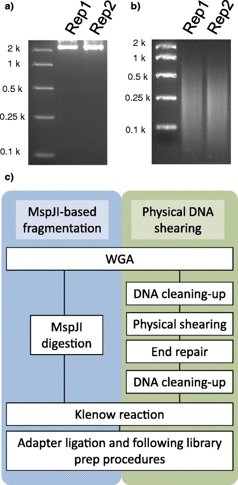 Sequencing of the fungal endophyte genome with the MspJI-based DNA fragmentation method. Two independent experiments (rep1 and rep2) were performed using the single endophyte strain. ( a ) WGA of the endophyte genome with the Φ29 enzyme in the presence of 5-methyl-dCTP (X μM). ( b ) MspJI digestion of the endophyte genome-derived amplicons. ( c ) Flowchart of the MspJI- and physical shearing-based library prep procedures from WGA products.