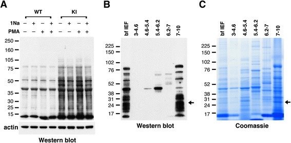 Identification and purification of PKCδ substrates in neutrophils. (A) Western blot with anti-thiophosphate ester antibody showing putative PKCδ substrates in neutrophil lysates from AS-PKCδ knock-in (KI) mice. The bottom panel shows β-actin immunoreactivity in the same samples as a loading control. (B, C) Identification of PKCδ substrates by MicroSol-IEF purification and mass spectrometry. AS-PKCδ neutrophil lysates were incubated with PMA and N 6 -(benzyl)-ATP-γS, and then thiophosphorylated proteins were alkylated with PNBM and separated by isoelectric focusing in 5 pools as shown. The proteins fractionated before (bf IEF) and after IEF were separated on parallel gels, one of which was subjected to western blot analysis using anti-thiophosphate ester antibody (B) and the other stained with Coomassie Blue (C) . The Coomassie-stained protein bands that matched with the immunoreactive bands were excised for analysis by mass spectrometry. The arrows indicate a protein band in the 7–10 pI pool that was identified as LCN2.
