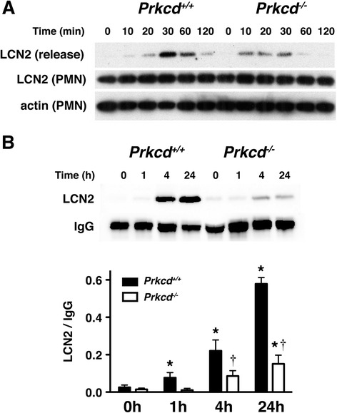 The release of LCN2 is reduced in Prkcd −/− mice in response to fMLP and cerebral ischemia. (A) Neutrophils from Prkcd +/+ and Prkcd −/− were stimulated with 1 μM of fMLP at 37°C for up to 120 min. LCN2 released into the media (release) and remained in neutrophils (PMN) at different time points were detected by western blot analysis. Actin detected in neutrophils (PMN) was used as the loading control. (B) Mouse sera collected at different time points after global cerebral ischemia were subjected to western blot analysis with anti-LCN2 and anti-IgG antibodies. The serum of mice without ischemia was collected as a control (0). The top panel is a representative western blot. The LCN2 and IgG protein bands were quantified by densitometry in the bottom panel. Ischemia-induced LCN2 differed by genotype [F(1,22) = 56.6; p