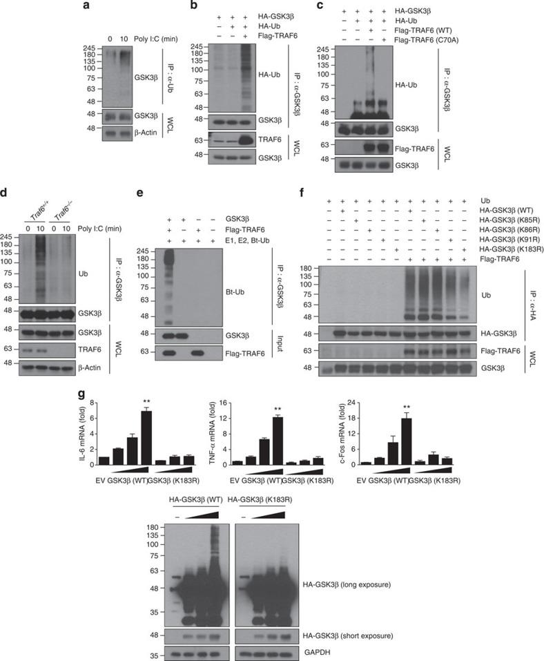 TRAF6-mediated GSK3β ubiquitination at lysine 183 is critical for TLR3-dependent cytokine production. ( a ) BMDMs were stimulated with 10 μg ml −1 poly I:C for 10 min and subjected to immunoprecipitation with an anti-Ub antibody followed by western blotting with an anti-GSK3β antibody. ( b ) HEK293T cells transfected with HA-GSK3β and HA-Ub along with Flag-TRAF6 plasmids were subjected to immunoprecipitation with an anti-GSK3β antibody followed by western blotting with an anti-HA antibody. ( c ) HEK293T cells were transfected with HA-GSK3β and HA-Ub along with TRAF6 (WT) or TRAF6 (C70A) plasmids. These experiments were performed as described in b . ( d ) Traf6 +/+ and Traf6 −/− 3T3 cells stimulated with 10 μg ml −1 poly I:C for 10 min were subjected to immunoprecipitation with an anti-GSK3β antibody followed by western blotting with an anti-Ub antibody. ( e ) GSK3β proteins were incubated with E1, E2 and biotinylated-Ub (Bt-Ub) in the presence or absence of Flag-TRAF6 proteins for in vitro ubiquitination of GSK3β. Ubiquitination of GSK3β was analysed by western blotting with streptavidin-HRP. ( f ) HEK293T cells transfected with Ub and Flag-TRAF6 along with HA-GSK3β WT or various HA-GSK3β mutants were subjected to immunoprecipitation with an anti-HA antibody followed by western blotting with an anti-Ub antibody. ( g ) HEK293-TLR3 cells were transiently transfected with GSK3β (WT) or GSK3β (K183R) plasmids. The levels of IL-6, TNF-α and c-Fos mRNA were determined by real-time PCR analysis (top). GSK3β expression levels were confirmed by western blotting with an anti-HA antibody (bottom). A longer exposure of the HA blot shows the presence of ubiquitin ladder. Data are presented as the mean±s.d. from at least three independent experiments. Statistical analyses were calculated using the Student's t -test (** P