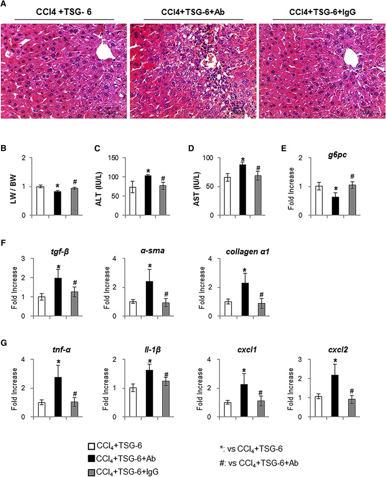 Neutralization of TSG-6 by TSG-6 antibody attenuates the restoration effect of TSG-6 in liver of CCl 4 + TSG-6-treated mice. (A) H E staining shows the histomorphological changes in CCl 4 + TSG-6-treated mice with (CCl 4 + TSG-6 + TSG-6 antibody) (CCl 4 + TSG-6 + IgG) without TSG-6 antibody (CCl 4 + TSG-6) or IgG. The representative images were shown at × 40. (B) Relative liver weight/body weight of mice. (C) , (D) The values of AST and ALT are graphed. (E , F , G) QRT-PCR analysis for G6pc (E), the fibrotic markers (F), tgf-β, α–sma and collagen-α1, the inflammation markers (G), tnfα, il-1β, cxcl1 and cxcl2, of liver mRNA from the treated mice (n ≥4 mice / group). Mean ± SD results are graphed (ANOVA, * P
