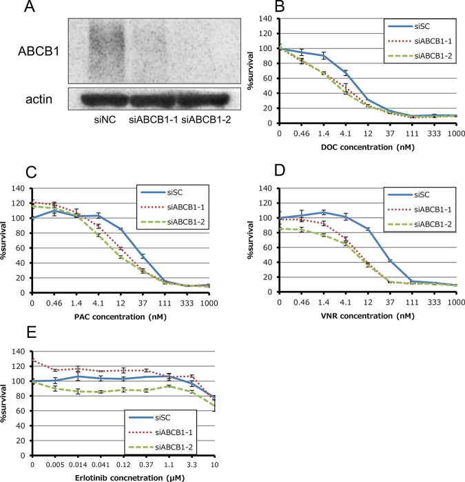 Effect of siRNA-mediated knockdown for ABCB1 in HCC4006ER cells. (A) Total cell lysates were harvested 72 hours after reverse-transfection of negative control siRNA (siNC) or validated two siRNAs for ATP-binding cassette subfamily B, member 1 (ABCB1) mixed with Lipofectamine RNAiMAX. (B-E) Tumor cells were reverse-transfected at the same time plating into 96-wells and then incubated for 24 hours. They were incubated with various concentrations of docetaxel, paclitaxel, vinorelbine and erlotinib for additional 72 hours. Percent growth relative to DMSO-treated controls was evaluated by Cell Counting Kit-8 assay.