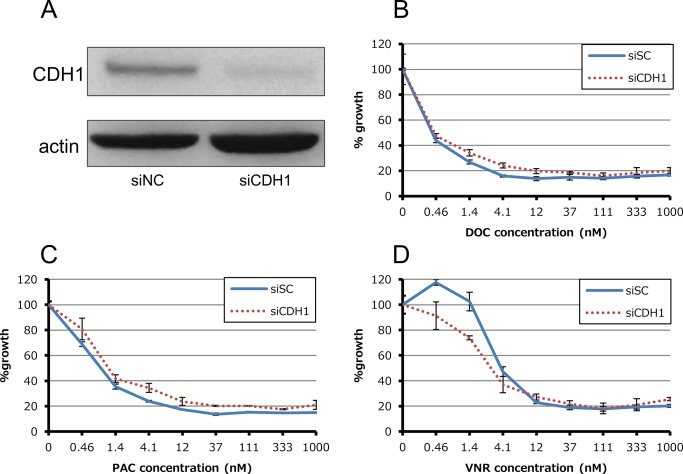 Effect of siRNA-mediated knockdown for CDH1 in HCC4006ER cells. (A) Total cell lysates were harvested 72 hours after reverse-transfection of negative control siRNA (siNC) or validated siRNAs for CDH1 which encodes E-cadherin mixed with Lipofectamine RNAiMAX. (B-D) Tumor cells were reverse-transfected at the same time plating into 96-wells and then incubated for 24 hours. They were incubated with various concentrations of docetaxel, paclitaxel and vinorelbine for additional 72 hours. Percent growth relative to DMSO-treated controls was evaluated by Cell Counting Kit-8 assay.