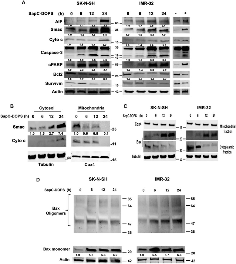 SapC-DOPS treatment causes redistribution of apoptogenic proteins and Bax oligomerization in mitochondria of neuroblastoma cells. A) Immunoblots from whole cell extracts showing apoptotic protein expression changes following treatment with 50 μM SapC-DOPS. Fractions indicate fold-change estimated by densitometric analysis of proteins normalized to <t>β-Actin</t> corresponding to the lane. Fold change indicated for caspase-3 corresponds to the cleaved 19 kDa fragment. Right lanes: (−) refers to negative control (Schwann cells treated with SapC-DOPS) and (+) refers to positive control (SK-N-SH cells treated with 10 μM staurosporine) for 24 h. B) Relocation of Smac and <t>Cyto</t> c in SK-N-SH cells. Cox4 and Tubulin served as loading control for the mitochondrial and cytoplasmic fractions, respectively. C) Bax redistribution in neuroblastoma cells following SapC-DOPS treatment. D) Bax oligomerization in neuroblastoma cells. **P