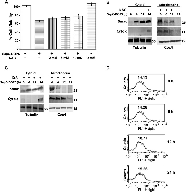 Apoptotic redistribution of Smac and Cyto c is independent of ROS formation, Cyclophilin D activity and Ca 2+ . A) Effect of N-acetyl cysteine (NAC)-mediated ROS inhibition on viability of SK-N-SH cells following SapC-DOPS treatment. B) Effect of pretreatment with 2 mM N-acetyl cysteine (NAC) following SapC-DOPS (50 μM) treatment on Smac and Cyto c relocation in SK-N-SH cells. C) Effect of 1 μM cyclosporine A (CsA)-pretreatment on Smac and Cyto c relocation following SapC-DOPS (50 μM) treatment in SK-N-SH cells. D) Flow cytometric measurement of Ca 2+ using Fluo-3 AM in SK-N-SH cells treated with 50 μM SapC-DOPS. Values represent geometric mean of fluorescence. Points, mean of three to five experiments; bars, SE. Western blots are representative of three independent experiments.