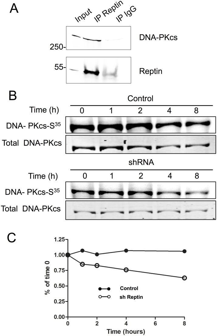 Reptin interacts with DNA-PKcs and regulates its stability. (A) Interaction between Reptin and DNA-PKcs was tested by immunoprecipitation. The migration positions of molecular weight standards (in kDa) are indicated on the left. The faint band seen in the IgG lane with the Reptin antibody corresponds to traces of IgG heavy chains. The picture is representative of 3 similar experiments. (B) Metabolic labeling and pulse chase. HuH7 cells stably expressing a doxycycline-inducible Reptin shRNA were treated (sh Reptin) or not (Control) with doxycycline. After 4 days, they were labeled with EXPRE 35 S 35 S as described in Materials and Methods. Following the indicated periods of chase, DNA-PKcs was immunoprecipitated and the eluates were separated on SDS-PAGE. The top panel shows the autoradiographic image, and the bottom one the Coomassie blue staining of the gel with DNA-PKcs. (C) The graph shows the quantitative analysis of the data following normalization of the autoradiographic signal on the amount of immunoprecipitated DNA-PKcs.