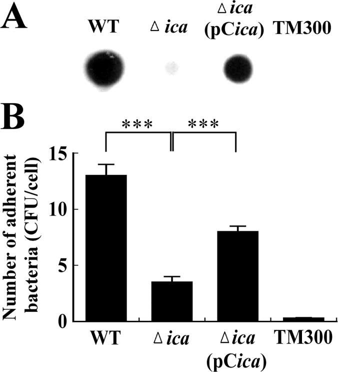 PIA/PNAG production and adherence of S . aureus to nasal epithelial cells. (A) PIA/PNAG was extracted from S . aureus strains and detected using WGA-biotin. Following incubation with HRP-streptavidin, PIA/PNAG was visualized by chemiluminescence detection. (B) The adherence of bacteria to RPMI 2650 cells was determined using an adherence assay. The number of bacteria that adhered to the cells was determined by CFU enumeration, and the average number of bacteria adhered to each RPMI 2650 cell was calculated. S . carnosus TM300 was used as a control. Significant differences are denoted with *** p -value