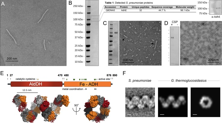 Identification of the 'plaited' filaments as AdhE spirosomes. (A) Negatively stained purified 'plaited' filaments. (B) Left, coomassie stained SDS-PAGE on the purified filament fraction. Center, proteomic analysis of the predominant protein band; Posterior Error Probability (PEP) value for AdhE is 0. Right, Western blot validation using an anti-AdhE antibody (Agrisera). (C) Heterologous expression in E . coli and purification of AdhE S.pneumoniae . Left, coomassie stained SDS-PAGE of the affinity purified protein ( S2 Table ). Right, negatively stained electron microscopy of the purified protein with black arrowheads indicating spontaneously formed spirosomes. (D) Immunopurification of S . pneumoniae spirosomes from a strain carrying an additional competence-inducible FLAG-tagged ectopic copy of the adhE gene (SO007): left, coomassie-stained SDS-PAGE of the eluted fraction in CSP-induced and-uninduced cells (CSP, competence stimulating peptide); right, negative-stain EM on the eluted fraction (E) Top, AdhE domain organization; bottom, high-resolution structural model of a G . thermoglucosidasius spirosome [ 19 ], visualized in PyMOL (Schrödinger). The color of the individual protomers alternate between grayscale and domain-coded color representation; successive AdhE dimers alternate between ribbon and surface representation (F) A representative class average of the 'plaited' filaments compared to electron density reprojections of the G . thermoglucosidasius spirosome model [ 19 ]. Scale bars 5nm.