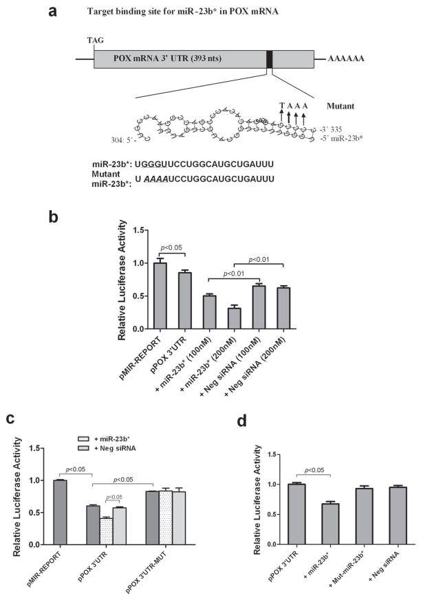 miR-23b* Directly Targets 3′ UTR of POX mRNA. (a) Schematic representation of miR-23b* target binding site in the POX mRNA 3′ UTR identified by the Microinspector prediction program. Mutations of 3′UTR and miR-23b* in the seed sequences were indicated. (b) The 3′UTR of POX mRNA was amplified by PCR and cloned downstream of a firefly luciferase gene of pMIR-REPORT to construct the pPOX 3′ UTR vector. TK10 renal cancer cells were transfected with pMIR-REPORT or pPOX 3′ UTR reporter with or without mimic miR-23b* or negative control siRNA. (c) The POX 3′UTR with mutations was constructed as the pPOX 3′UTR-MUT plasmid. TK10 renal cancer cells were transfected with pMIR-REPORT, pPOX 3′ UTR or pPOX 3′UTR-MUT reporter with or without 100nM mimic miR-23b* or negative control siRNA. (d) TK10 renal cancer cells were transfected with pPOX 3′ UTR reporter with 100nM mimic miR-23b*, mutant miR-23b* or negative control siRNA. All transfections used pRL-null renilla luciferase reporter as an internal control. Data are reported as relative luciferase activity normalized to that of pMIR-REPORT group (3b and 3c) and that of pPOX 3′ UTR (3d). All results were done in triplicates and repeated in two independent experiments. Values represent means ± SEM. p value was obtained in one-way ANOVA analysis.