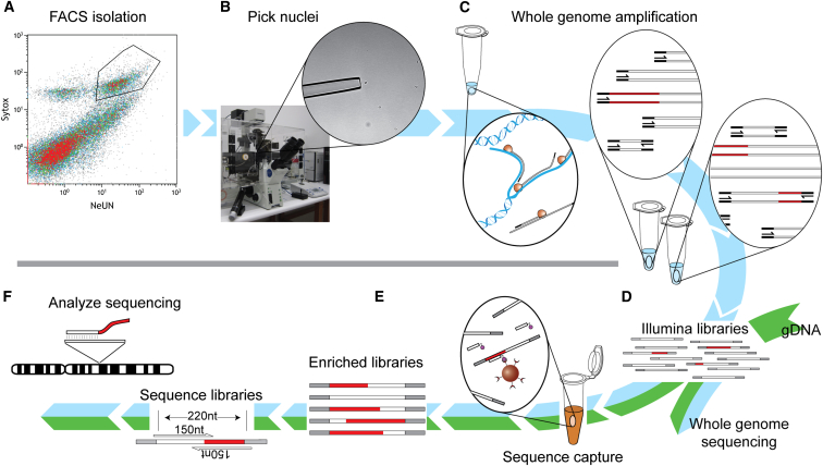 Single-Cell RC-Seq Workflow (A) NeuN + hippocampal nuclei were first purified by FACS (see also Figure S1 ). (B) Nuclei were then picked using a self-contained microscope and micromanipulator. (C) DNA was extracted from nuclei and subjected to linear WGA, followed by exponential PCR in two separate reactions for each nucleus, using different enzymes. (D) Exponential WGA products for each nucleus were combined, used to prepare Illumina libraries, and analyzed via WGS to assess genome coverage and possible amplification biases. (E) Libraries prepared in (D) were enriched via hybridization to L1-Ta LNA probes. (F) Enriched libraries were sequenced with 2 × 150-mer Illumina reads and analyzed to identify novel L1 integration sites (see also Figure S2 ).